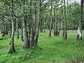 Lochshore trees - geograph.org.uk - 231910.jpg