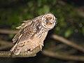 Long-eared owl (43995743562).jpg