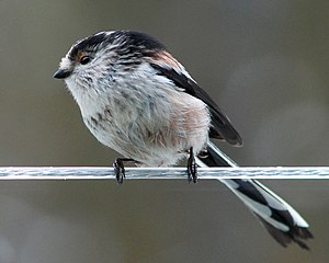 Long-tailed tit - Perched on a washing line in Shropshire
