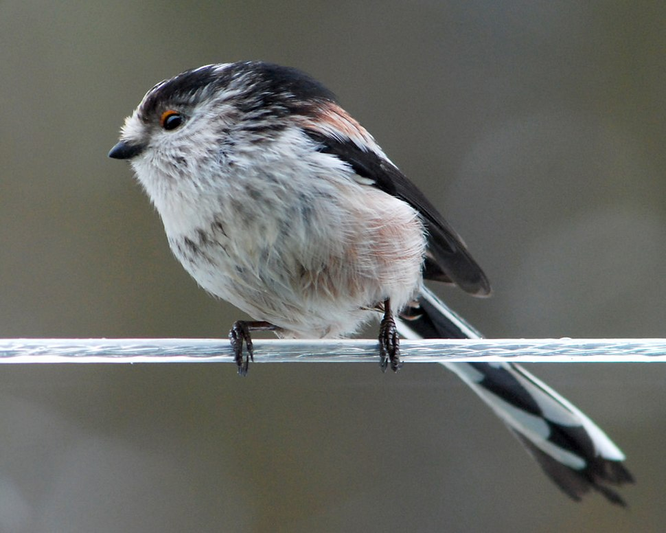 Long tailed Tit on a washing line - geograph.org.uk - 1714032
