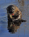 Lontra canadensis - Andrea Westmoreland (33).jpg
