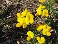 Lotus corniculatus, Faver 02.jpg