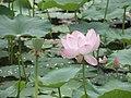 Lotuses (28819534801).jpg