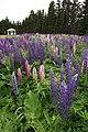 Lupinen in den Jardins-de-métis, Quebec.jpg