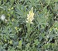 Lupinus gredensis 20140415 c.jpg