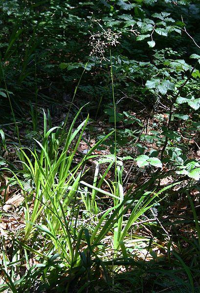 Chlpaňa lesná (lat. Luzula sylvatica)