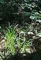 Luzula sylvatica 2.jpg
