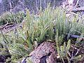 Lycopodium annotinum sl12.jpg