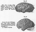 Lyell Structure Of Brain.png