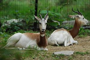 Dama gazelle - Addra gazelles, part of the breeding program at the National Zoo in Washington, DC