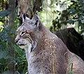 Lynx (4996479408).jpg