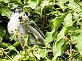 Mönchsgrasmücke (13) (34176370984).jpg