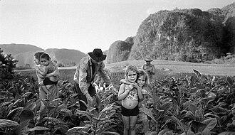 Viñales - Manuel Rivera-Ortiz: Tobacco Harvesting, Viñales Valley, Cuba 2002