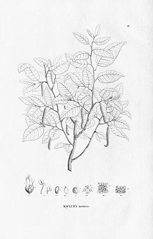 Maclura tinctoria
