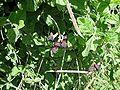 Macroptilium atropurpureum ver 2.jpg