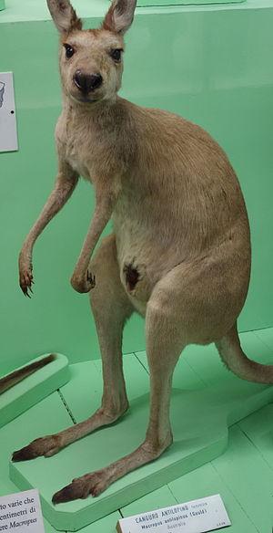 Antilopine kangaroo - Female