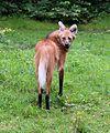 Maehnenwolf Chrysocyon brachyurus Tierpark Hellabrunn-1.jpg
