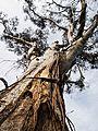 Magestic Eucalyptus tree.jpg