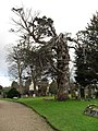 Magnificent old gnarled tree in the churchyard at St James, Birdham - geograph.org.uk - 1635102.jpg