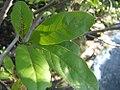 Magnolia stellata Royal Star 1zz.jpg