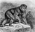 Magot monkey or barbary macaque Wellcome M0009429.jpg