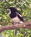Magpie Robin Male.jpg