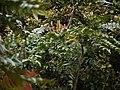 Mahonia leschenaultii (6369925071).jpg