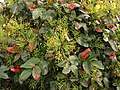 Mahonia planta (7255348884).jpg