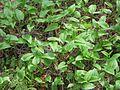 Maianthemum bifolium 5808.jpg