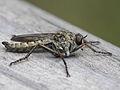 Male Asilinae indet. - männliche Raub- oder Jagdfliege (7132539665).jpg