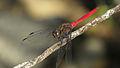 Male Fiery Skimmer cheek (17249257426).jpg