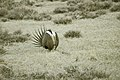 Male Greater Sage-Grouse (7094253617).jpg