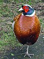 Male common pheasant.jpg