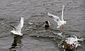 Mallards and gulls2.JPG