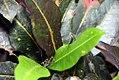 Malvaviscus arboreus 2zz.jpg