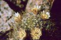Mammillaria picta ssp viereckii pm1.jpg
