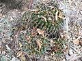 Mammillaria polyedra (5742373732).jpg