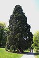 Mammutbaum 2.jpg
