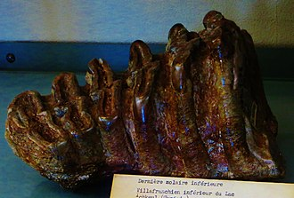 Mammoth - Tooth of M. africanavus, one of the earliest known species of mammoth, from North Africa.