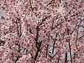 Mandelblüten in der Pfalz.jpg