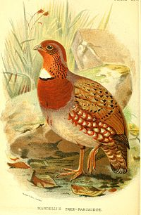 MandellisTreePartridge