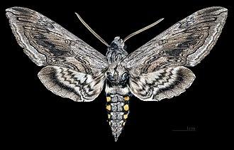 Manduca quinquemaculata - Male - dorsal view