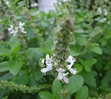Ocimum gratissimum florido