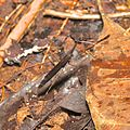Mantis living in leaf litter (15134062613).jpg