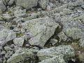 Map Lichen NH.jpg