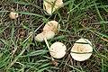 Marasmius oreades. Fairy ring Champignon (36235414290).jpg