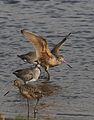 Marbled godwit, Limosa fedoa, Moss Landing (Elkhorn Slough and beach), California, USA. (30639550900).jpg
