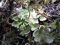 Marchantia polymorpha.jpg