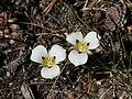 Mariposa lily Calochortus leichtinii two.jpg