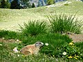 Marmotta da... esposizione - panoramio.jpg